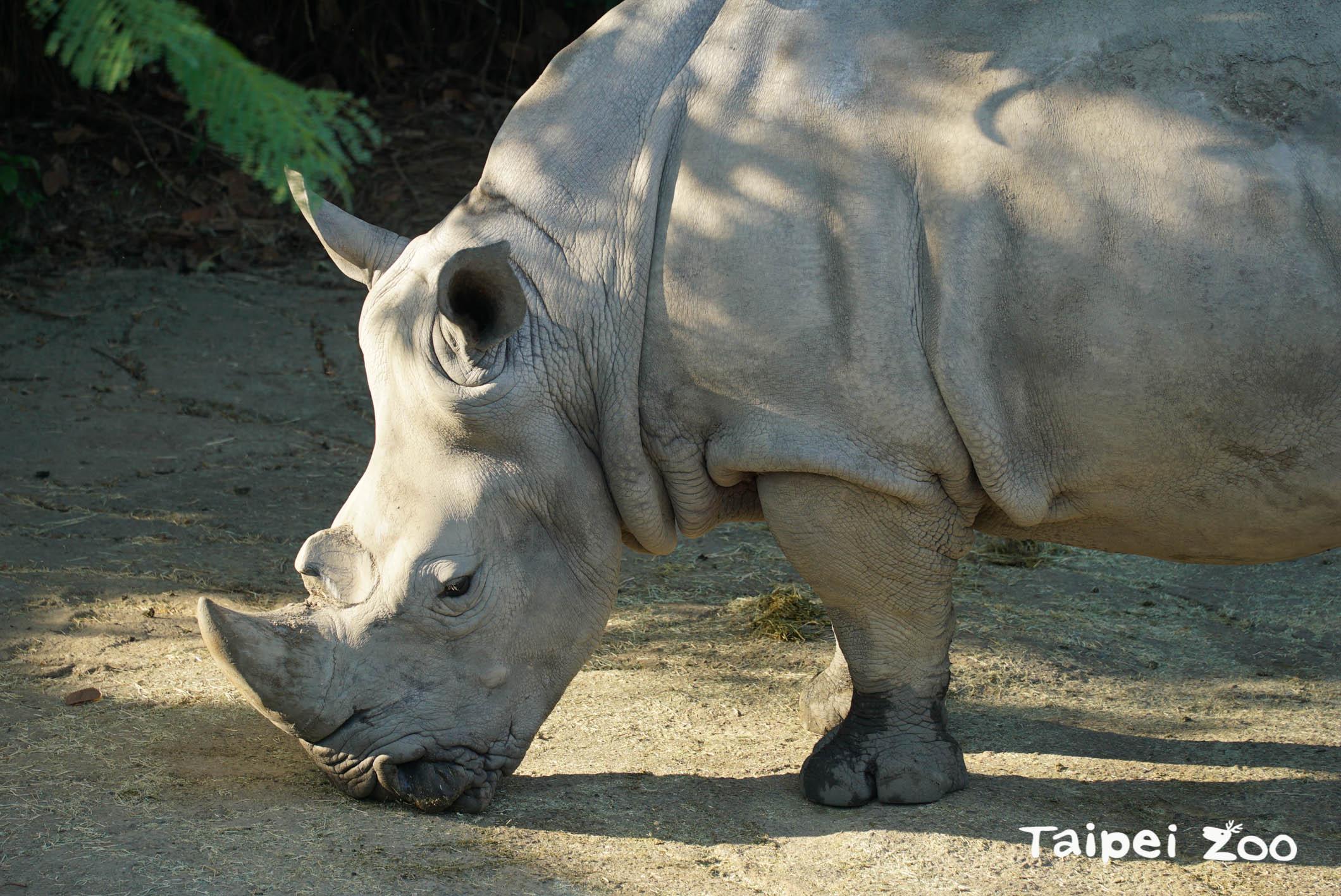 過去曾有30多種犀牛,目前只剩下5種犀牛,而非洲的白犀牛正是其中1種