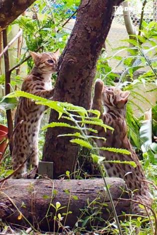 石虎寶寶利用樹皮磨爪子