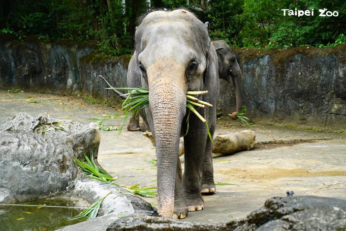 亞洲象:封園77天的動物園終於要在8月1日(日)重新和大家見面了!