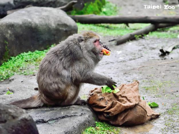 核心雄猴(Alpha Male)或核心雌猴(Alpha Female)的個體,享有覓食和交配的優先權