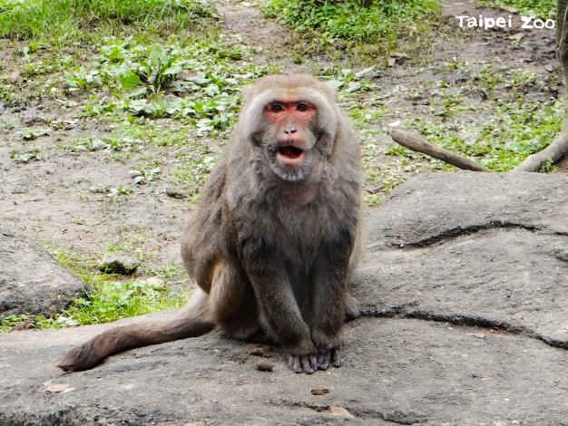 在臺灣動物區猴島擔任「核心雄猴(Alpha Male)」將近20個年頭的「榮哥」,留給大家數不盡的歡笑和回憶