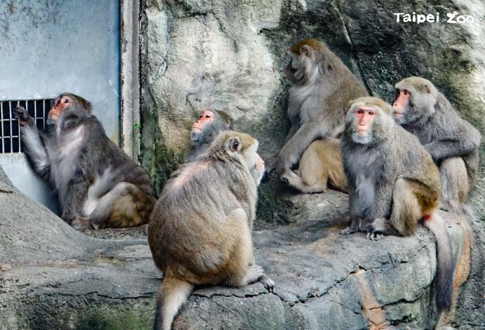 臺灣獼猴群居的動物,遇到危險時會通風報信、互相照應