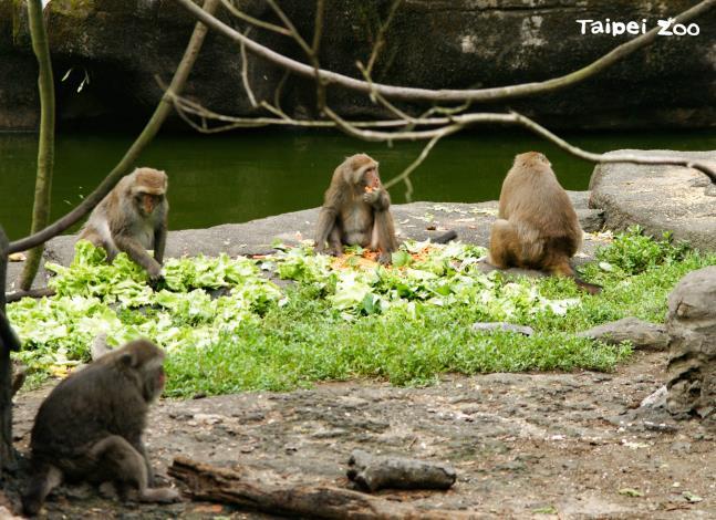 在野外如果和臺灣獼猴偶遇時,記得要保持5-10公尺的安全距離