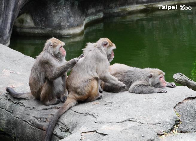 臺灣獼猴的族群,社會結構重視身分位階