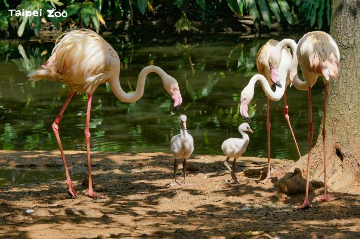 目前水禽區的島上有兩對大紅鶴爸媽正在照養雛鳥(詹德川攝)