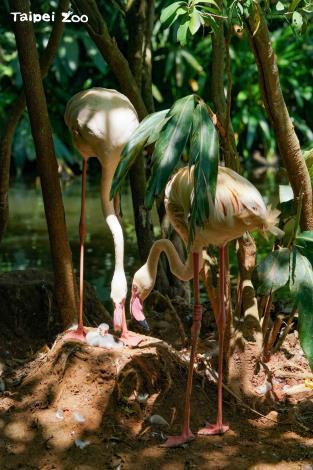 大紅鶴的巢是由泥土構築而成的,形狀像是火山錐(詹德川攝)