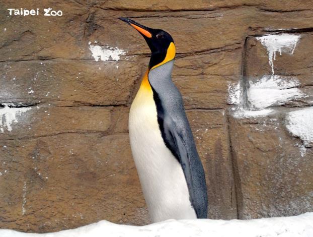 「中秋節線上柚燈大賞活動」柚燈指定物種之一:國王企鵝