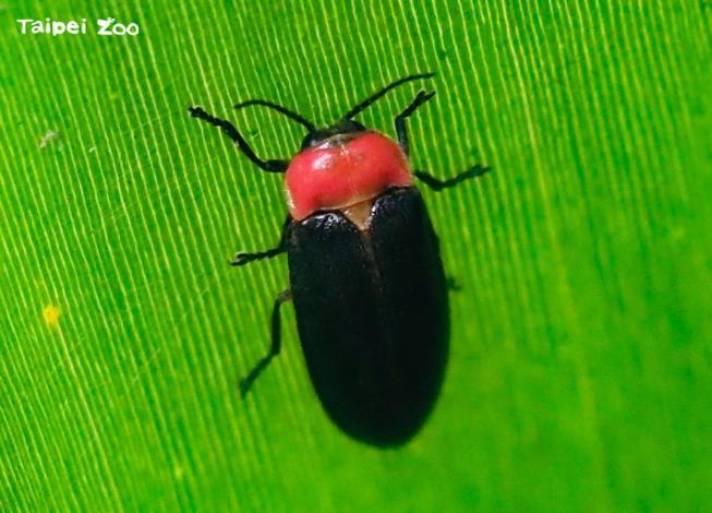 「中秋節線上柚燈大賞活動」柚燈指定物種之一:螢火蟲