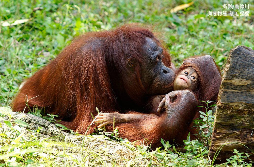 瀕危物種-紅毛猩猩