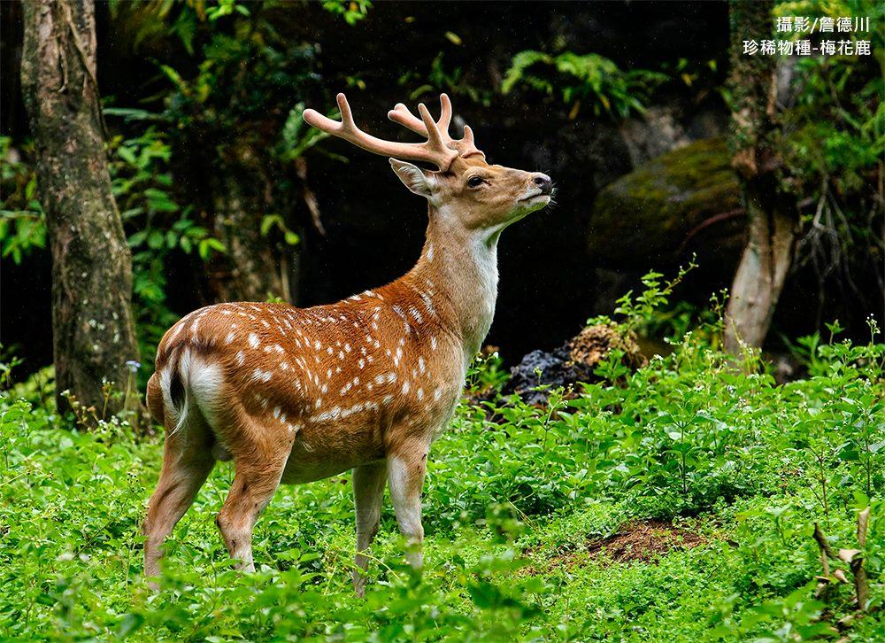 珍稀物種-梅花鹿