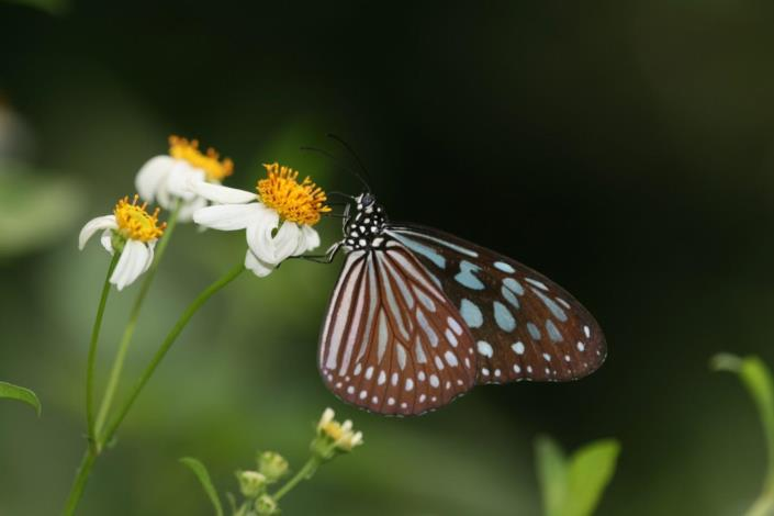 Liuchiou Blue Spotted Milkweed Butterfly