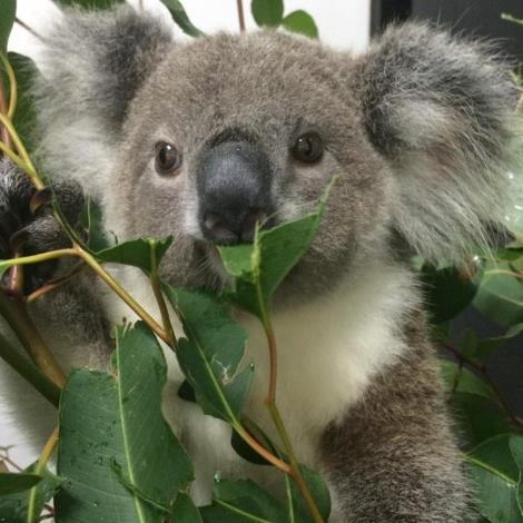 Koala Eatin