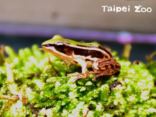 臺北赤蛙保育計畫 特別報導