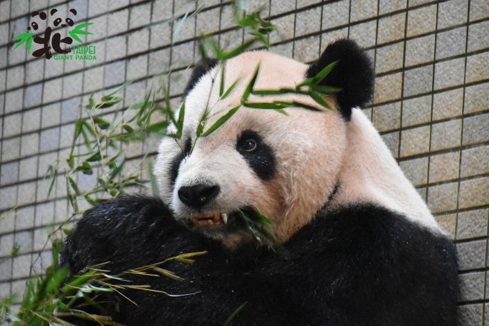不只是呆萌!從大貓熊身上看見野生動物照養與醫療科學之躍進