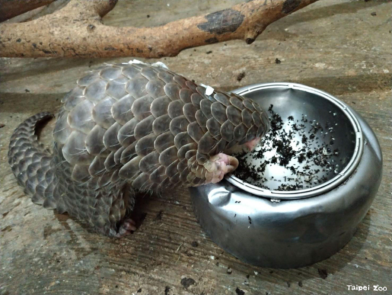臺北市立動物園-認養保育成果-穿山甲的飲食清單──臺灣穿山甲食性之研究