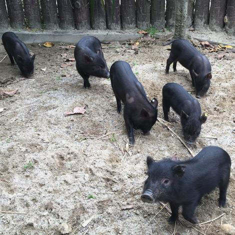 Lanyu pig