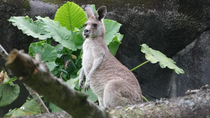 Eastern Gray Kangaroo.JPG