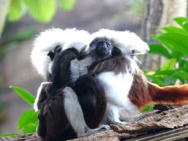 棉頭絹猴可愛的雙胞胎順利成長.JPG