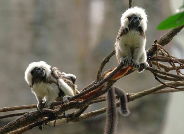觀察棉頭絹猴雙胞胎攀爬技巧的遊客們,請別忘記要輕聲細語,保持安全距離