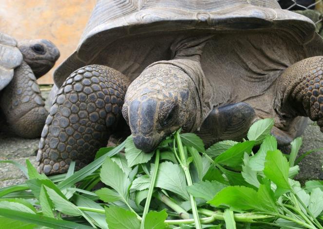 保育員增加食物量與樹葉的比例,好滿足象龜的營養需求(戴為愚提供).JPG