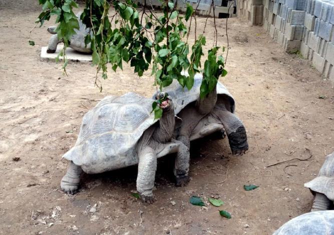 餵食時將樹葉懸掛,更貼近象龜在野外採食的樣貌(戴為愚提供)