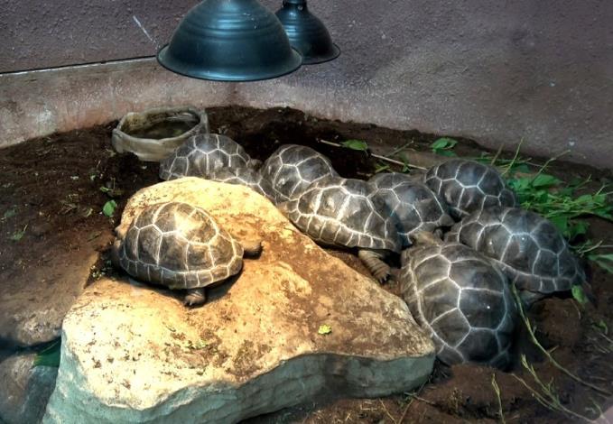 臺北市立動物園首次繁殖成功的亞達伯拉象龜寶寶們已經兩歲囉!