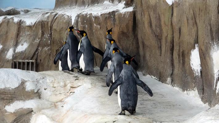 剛開始的幾圈,企鵝們還會安安份份的跟著「領頭鵝」向前進.JPG