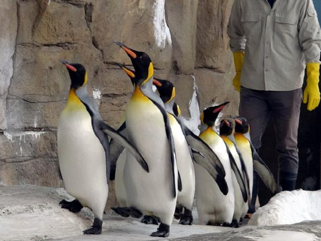 大家在上午900-930之間來到企鵝館,就能看到國王企鵝們在保育員的陪伴下一起努力「晨走」的可愛模樣.JPG