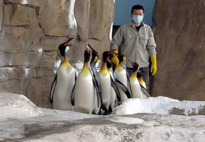為了強化國王企鵝進入繁殖季的戰力,保育員每天早上都會帶著牠們,進行30分鐘的「晨走特訓」.JPG