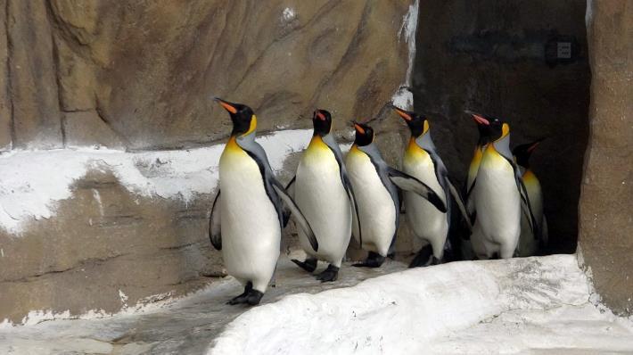 國王企鵝每天早上「晨走特訓」,目的是為了增進體力、強健腳力.JPG