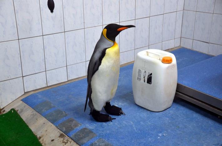 動物園與廠商合作,使用3D列印技術,製作出完全符合企鵝腳型的特製「防水鞋套」.JPG