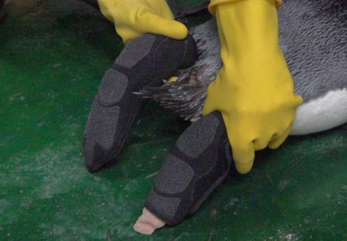 為國王企鵝特製防護鞋套,能完整包覆上藥的腳掌.JPG