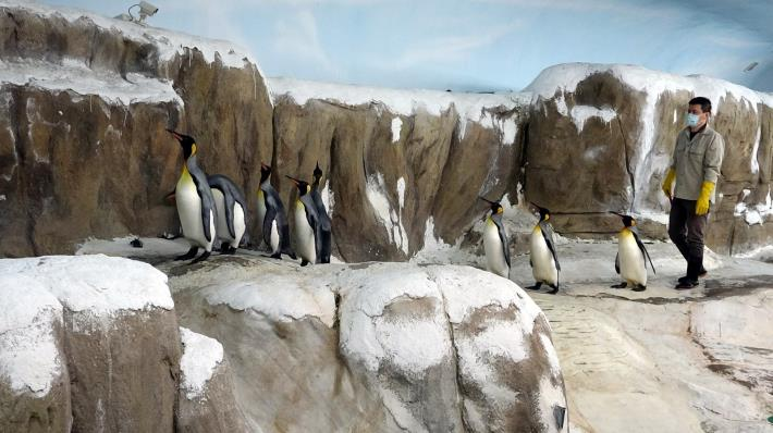為了提高繁殖成功率,從4月中開始,保育員為國王企鵝們進行每日30分鐘的「晨走特訓」.JPG