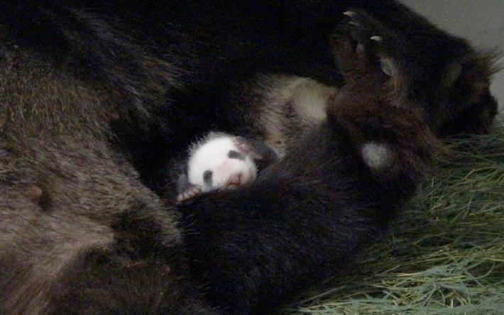 baby panda returned to her mother.JPG