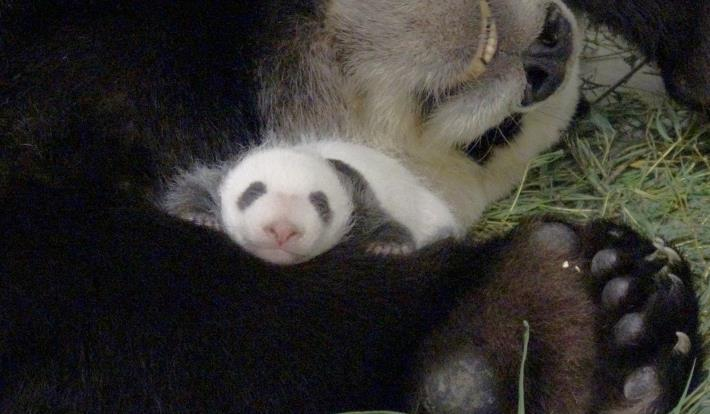 baby and mother panda slept soundly!.JPG