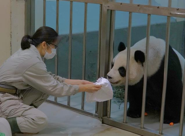 zoo keeper let mother panda smell the baby's towel.JPG