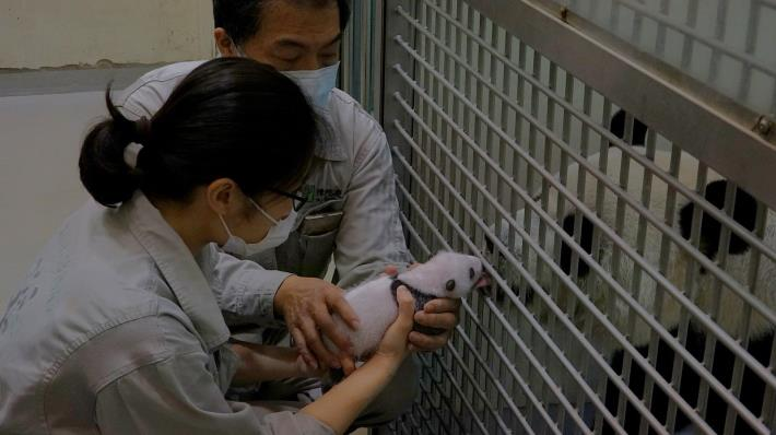 baby panda made sounds, mother panda gently comforted it.JPG