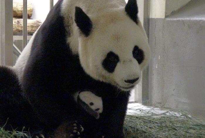 mother panda carefully held her.JPG
