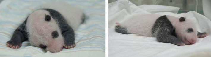Baby panda is 20 days old, guess who is small and soft?