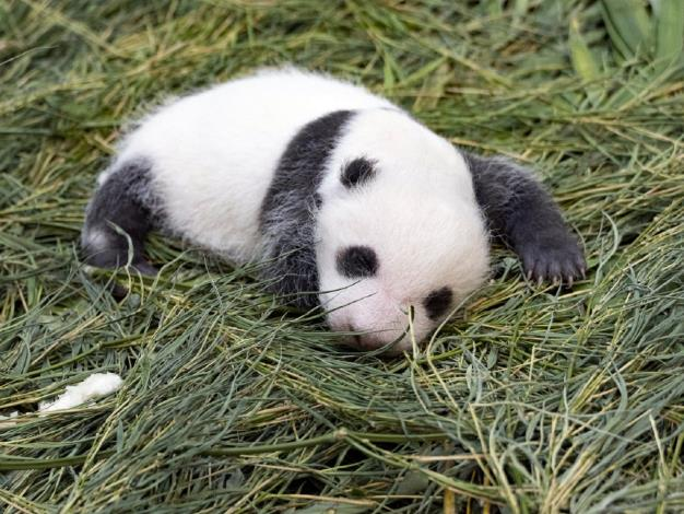 Be part of the 「Giant baby panda naming event」(July 25 and 27))