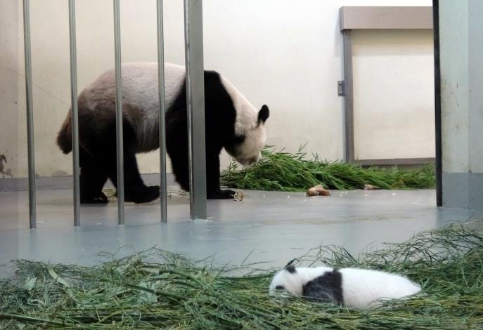 大貓熊「圓圓」:寶貝乖哦!媽媽吃個飯.JPG