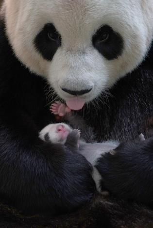 Giant pandas are different from African wild donkeys, giraffes and other herbivorous in many ways. One of them is that their gender can be distinguished at birth from the appearance of their genitals.