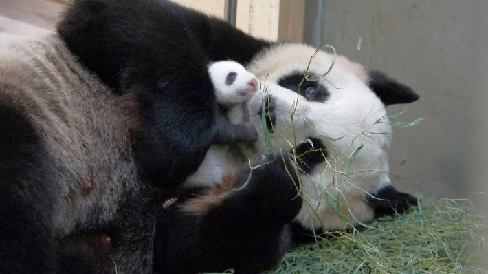 In the animal kingdom there are many cases where it is difficult to distinguish between male and female. (Giant panda 'Yuan yuan' and her newborn baby)