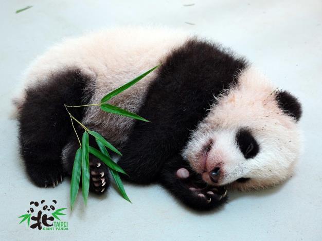 Giant panda cub sleep