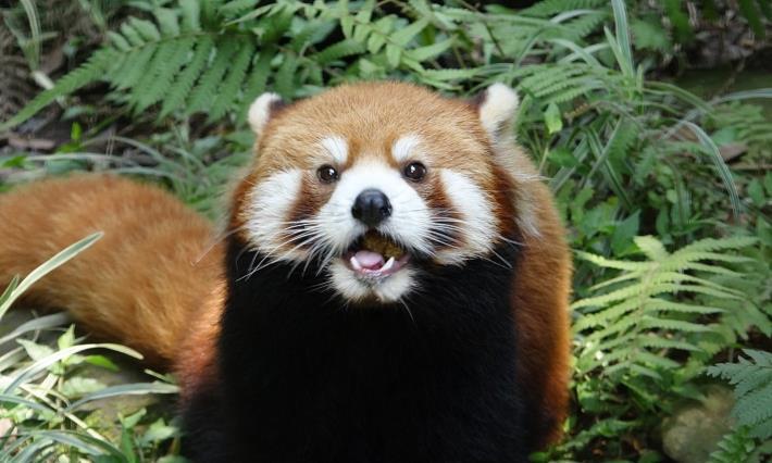 小貓熊Red panda和大貓熊Giant panda是兩個完全不同的物種.JPG
