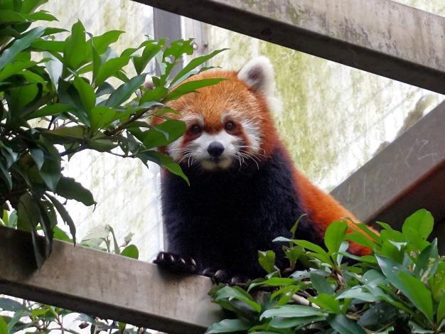小貓熊別名紅貓熊、火狐狸,毛髮是咖啡色系,跟浣熊較有親緣關係.JPG