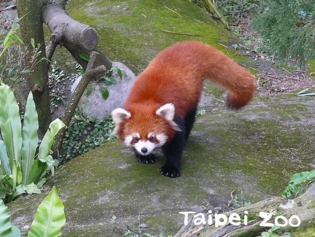 Red panda has coffee-colored fur