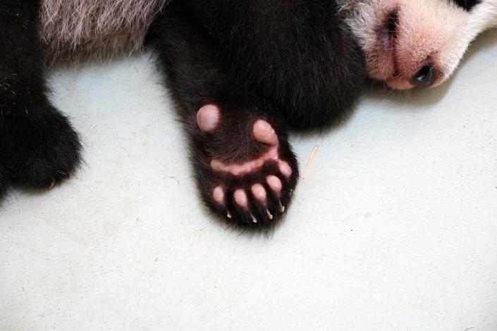 大貓熊和小貓熊前掌都有特化的腕骨形成第六指或稱偽拇指(小編:好想偷摸一下!).JPG