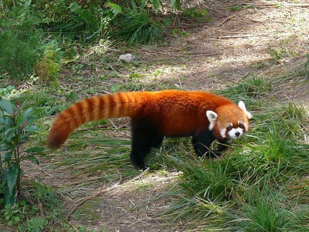 樹棲的小貓熊有長尾巴保持平衡.JPG