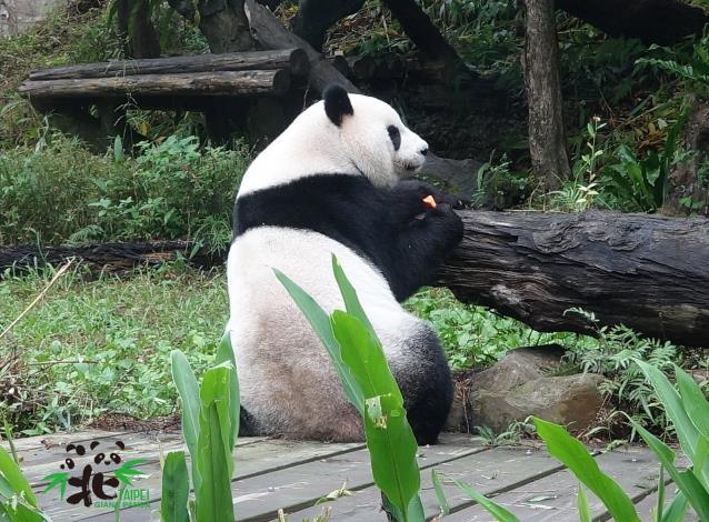 Giant panda Yuan Yuan